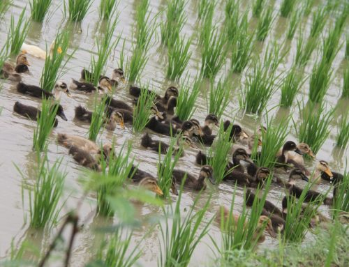 Rice Duck Farming in Nepal: A Community Based Adaptation for Combating Climate Change
